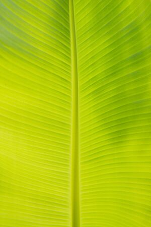 Banana leaf pattern background Imagens