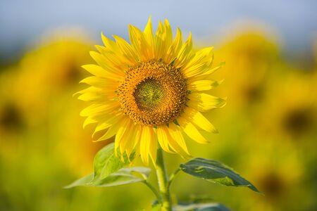 Sunflower blossom close up