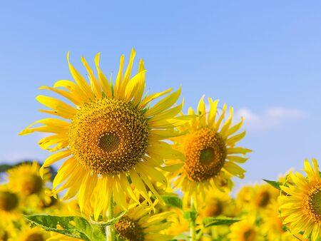 Beautiful sunflower blossom on blue sky Imagens