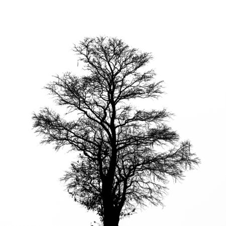 Silhouette dead tree on white background