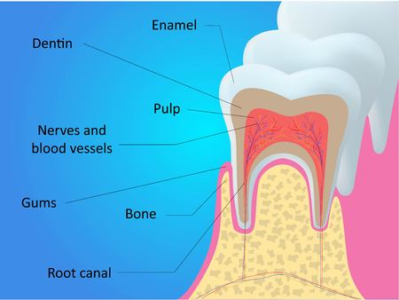 Human tooth structure vector diagram.