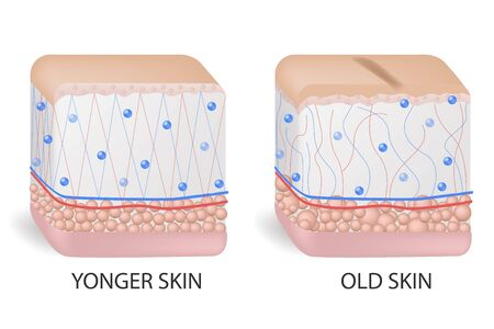 collagen and elastine. Younger and older skin. Visual representation of skin changes over a lifetime.  イラスト・ベクター素材