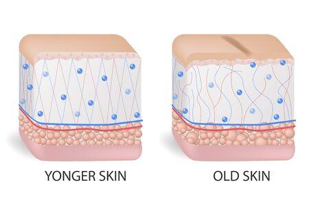 collagen and elastine. Younger and older skin. Visual representation of skin changes over a lifetime. Illustration