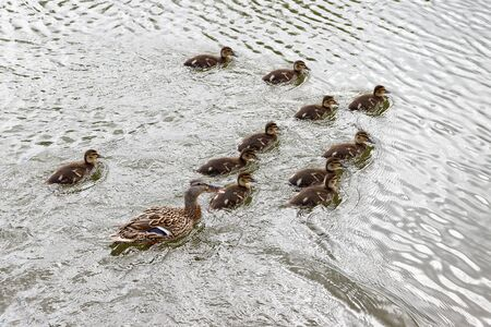 Duck with offspring on a boat trip.