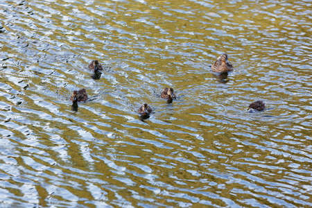 Duck with ducklings on the surface of the pond. Stock Photo
