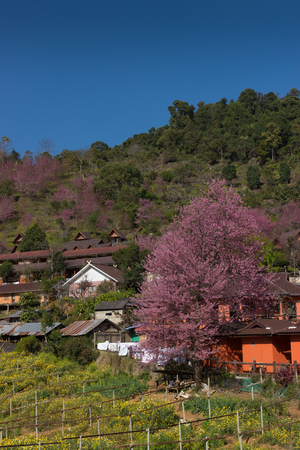 lit collection: Beautiful garden with wild himalayan cherry blossom