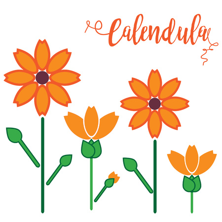 calendula: illustration of calendula flowers.