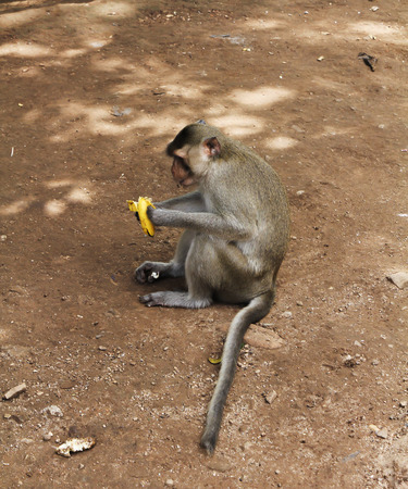 Monkey macaque cleans and eats banana. The monkey sits on the ground.