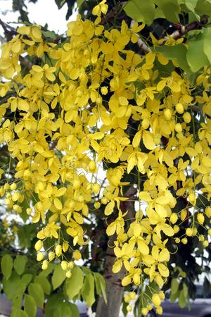golden shower: golden shower tree along the way Stock Photo