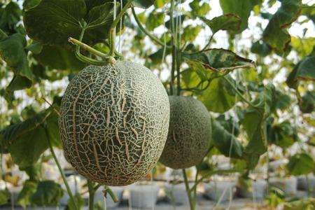 hydroponics: hydroponics melon farm Stock Photo