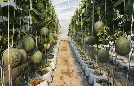 hydroponics melon farm Stock Photo