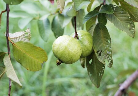 guayaba: guayaba en granja orgánica de Tailandia