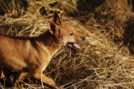 brown and black dog face: young dog in  straw background Stock Photo