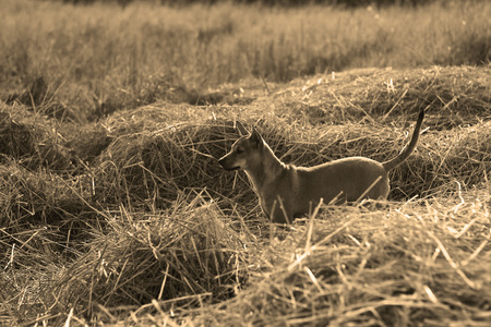 brown and black dog face: young dog  on straw;black and white picture ; used sepia fillter