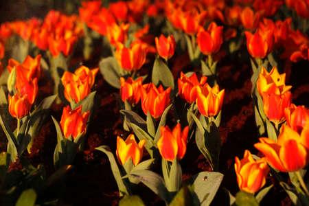 spay: orange tulip