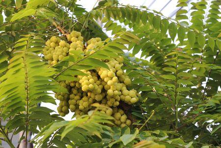 gooseberry: star gooseberry tree
