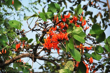 bastard: bastard teak or bengal kino tree