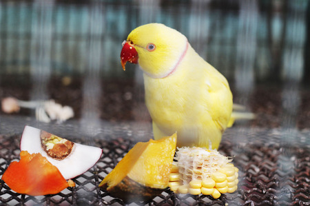 periquito: yellow indian ringneck parakeet feeding in cage