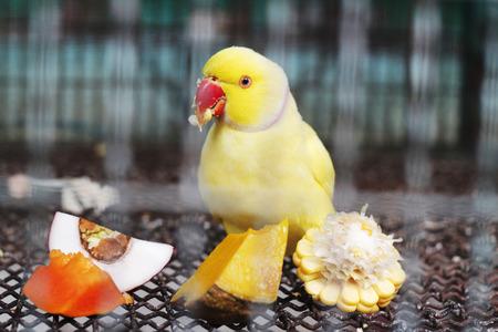 periquito: amarilla de alimentación ringneck parakeet indio en la jaula Foto de archivo