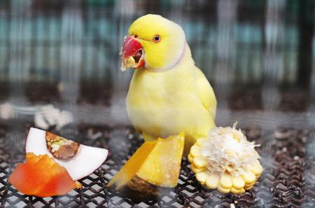 periquito: amarilla de alimentaci�n ringneck parakeet indio en la jaula Foto de archivo