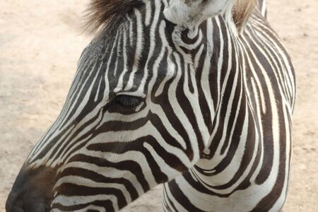 zebra face: face of zebra Stock Photo