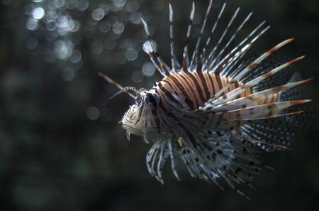 lionfish: lionfish Stock Photo