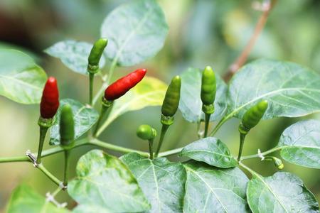 padi: chilli padi,Thai papper,birds eye chilli,fresh red and green chilli in garden