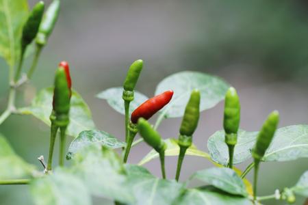 chilli padi,Thai papper,birds eye chilli,fresh red and green chilli in garden