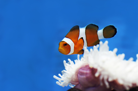 nemo: nemo clownfish