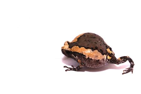 bullfrog: young bullfrog on white background