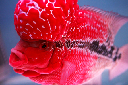 closed up flowerhorn cichlid fish in fish tank Stock Photo