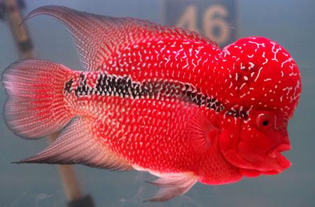 flowerhorn cichlid fish in fish tank Stock Photo