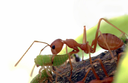 red ant and aphids on tree Stock Photo
