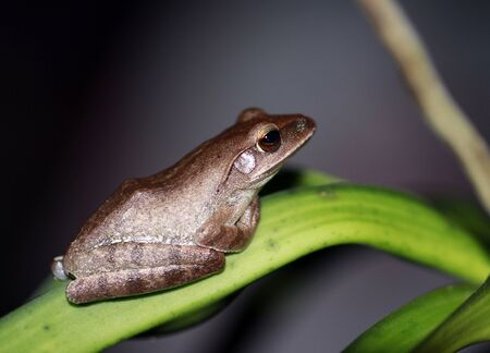 common tree frog on orchid leaf