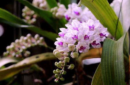 Beautiful Rhynchostylis gigantea orchid