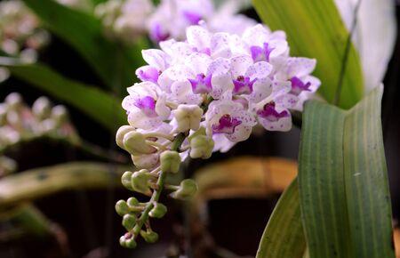 gigantea: Beautiful Rhynchostylis gigantea orchid