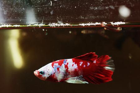 colorful betta fish,fancy fighting fish