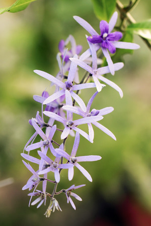petrea: purple wreath flower