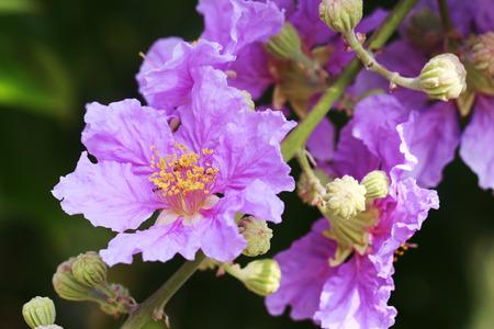 lagerstroemia flower Stock Photo