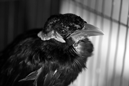 common myna bird: old hill myna in the cage,black & white picture sytle