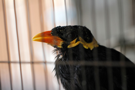 common myna bird: old hill myna in the cage