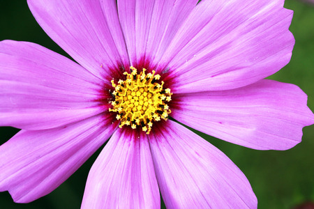 macro shot  of a pink cosmos flower