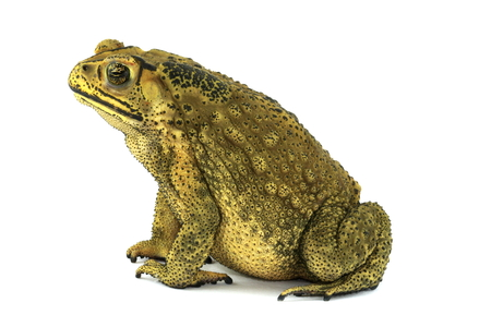 Toad female on white background