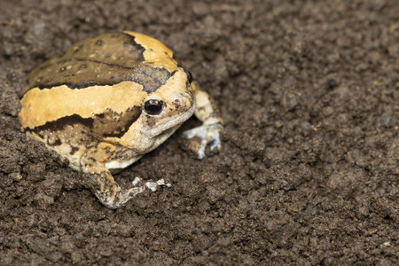 Bullfrog is hiding in the ground.