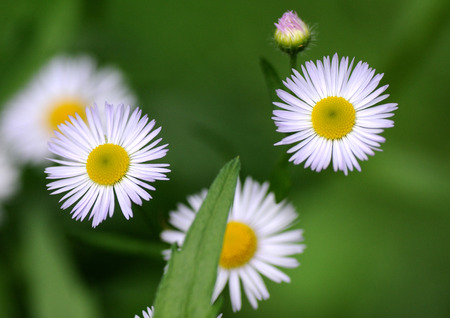 canadensis: Conyza canadensis  formerly Erigeron canadensis L    Stock Photo