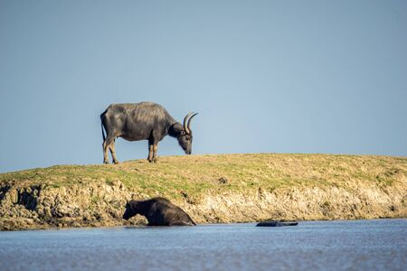 Buffalo on the mound Beside the pond, transformed by mud, it was eating grass 写真素材