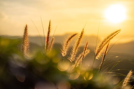 Orange light from the sun That shine through the fibers of the grass flowers. The foreground has a bokeh of green leaves. Stock fotó