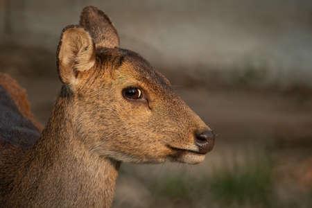 Natural deer in Thung Kramang Wildlife Sanctuary, Chaiyaphum Province, Thailand