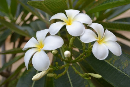 Champa Laos  Frangipani Laos national flower photo