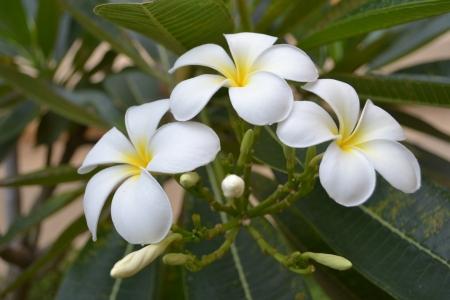 champa flower: Champa Laos  Frangipani Laos national flower